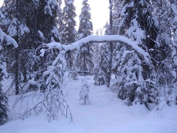 Kaartuva oksa lumen peitossa.