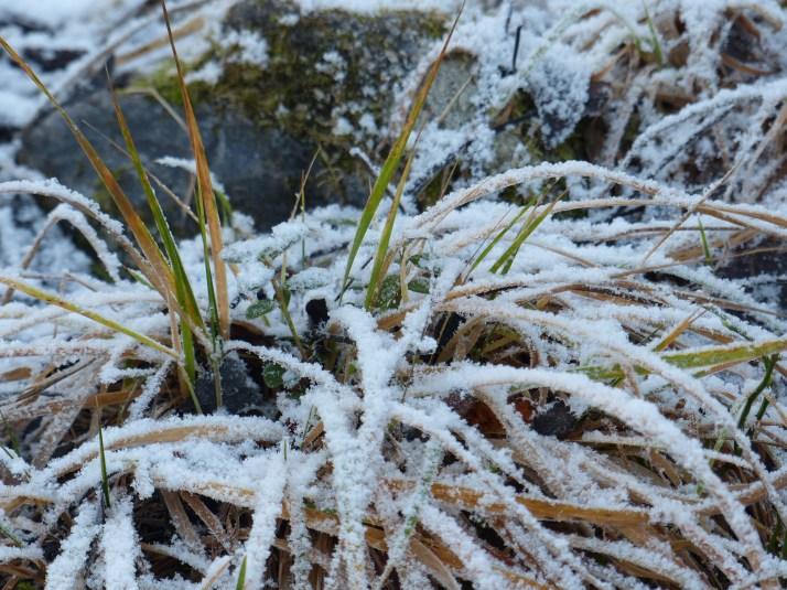 Ruoho lumen peitossa. Kuva otettu marraskuussa 2013.