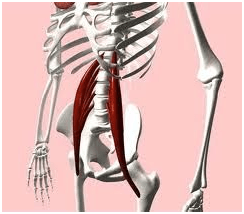 psoas muscle archives - the crystal system dressage, Human Body
