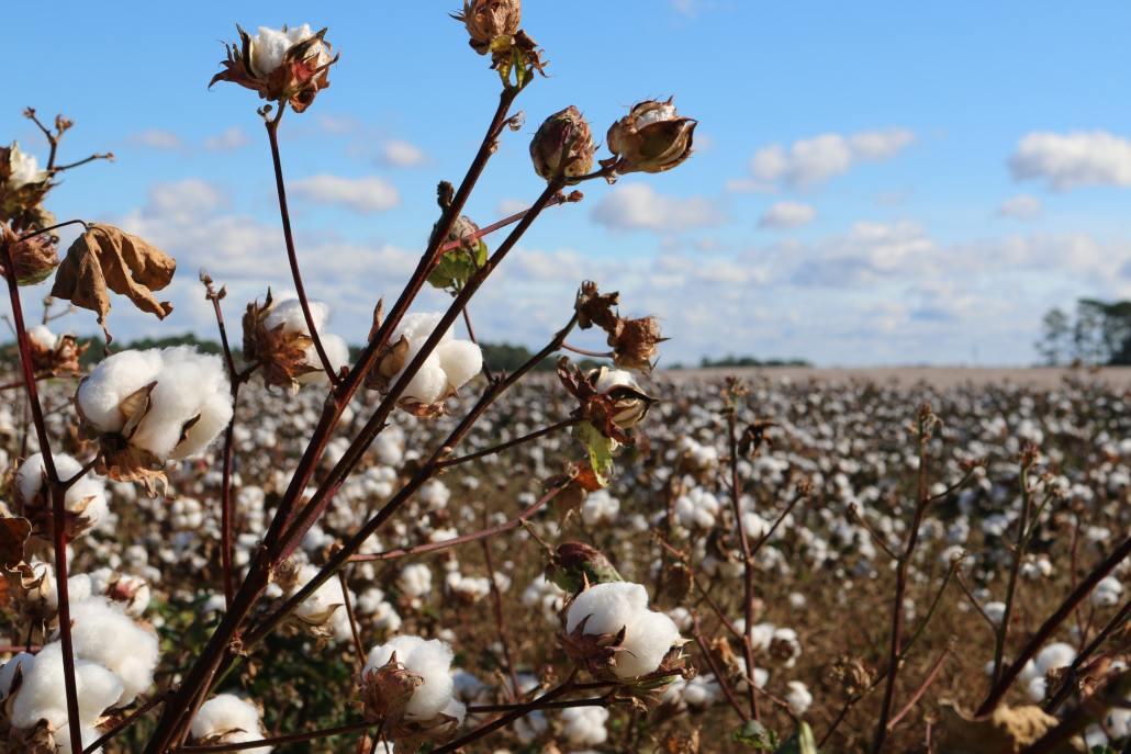 棉花花語棉花哪裡買推薦,棉花的花語是什麼