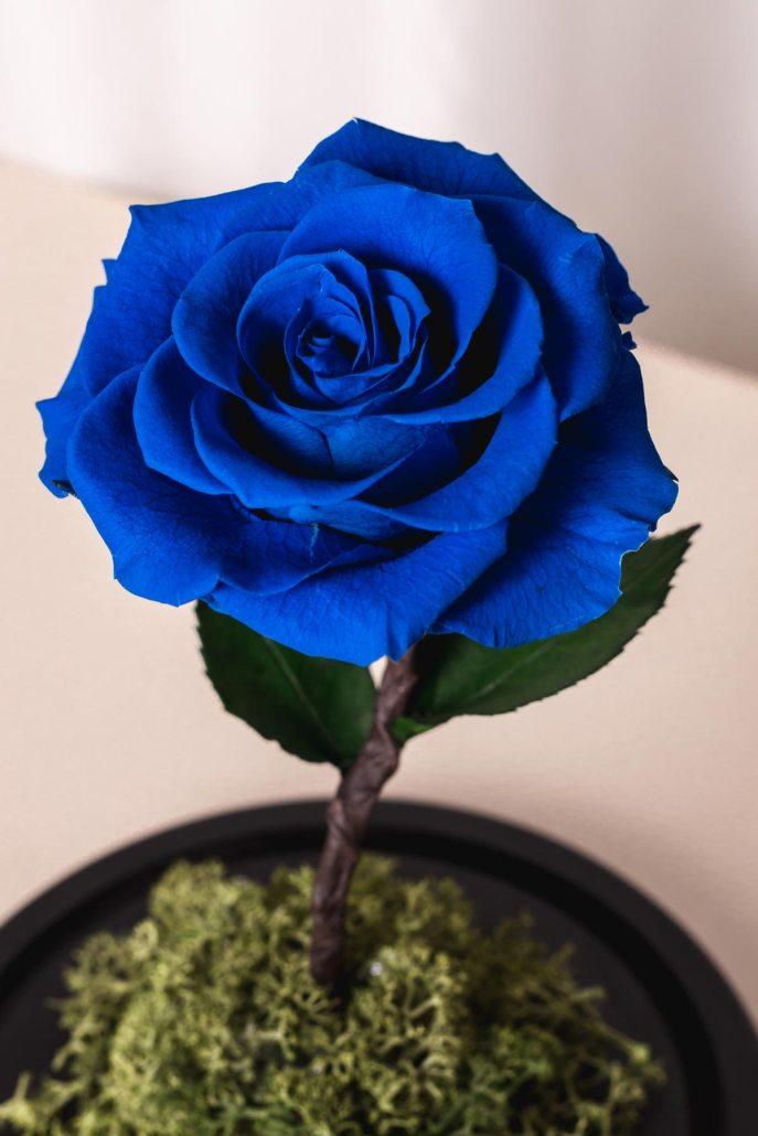 寶藍色永生玫瑰花特寫照片-永生玫瑰花玻璃罩