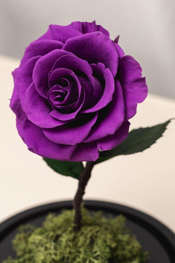 紫色永生玫瑰花特寫照片-永生玫瑰花玻璃罩