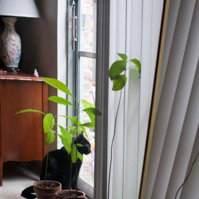 how to grow avocado tree from seed