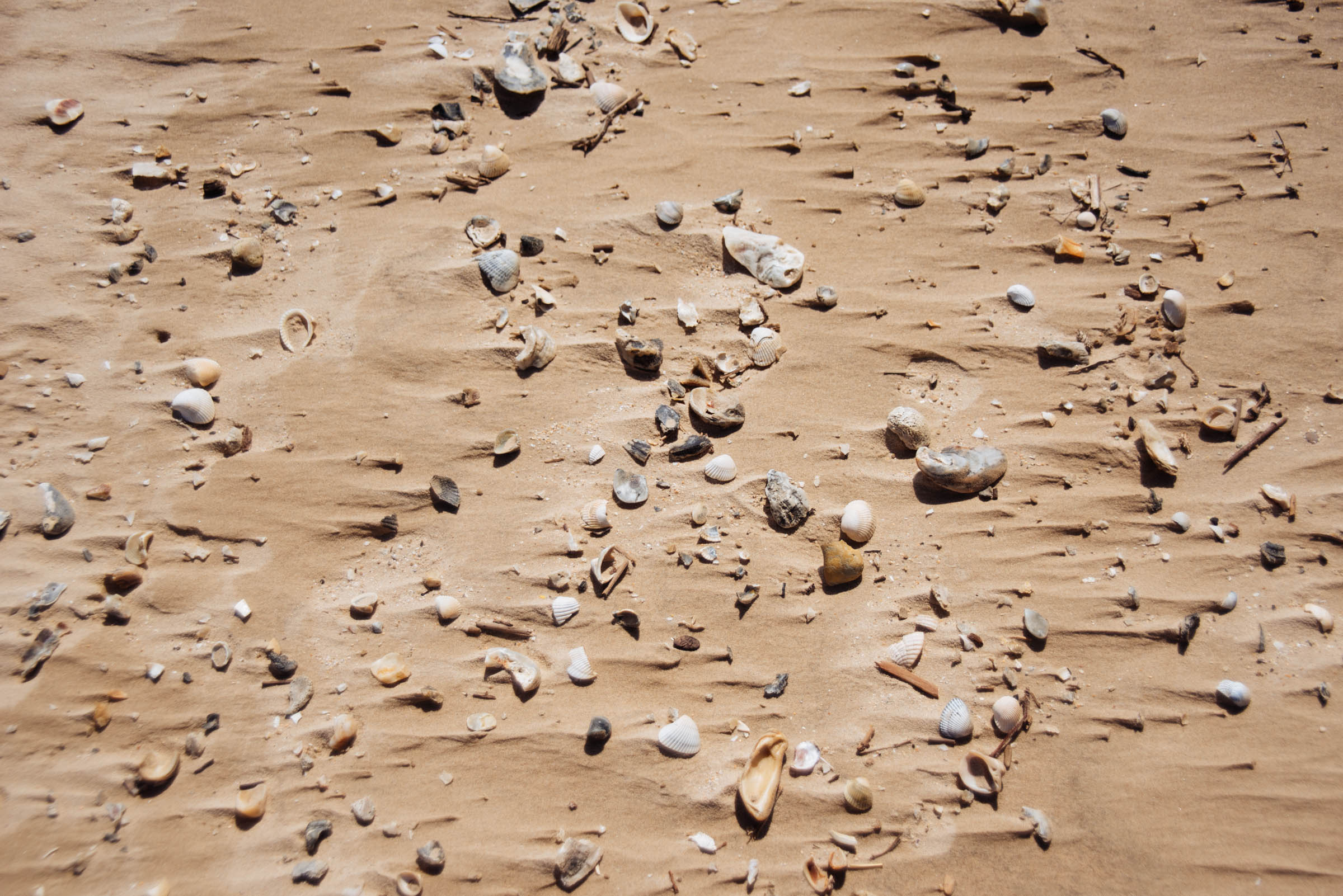 matagorda seashells