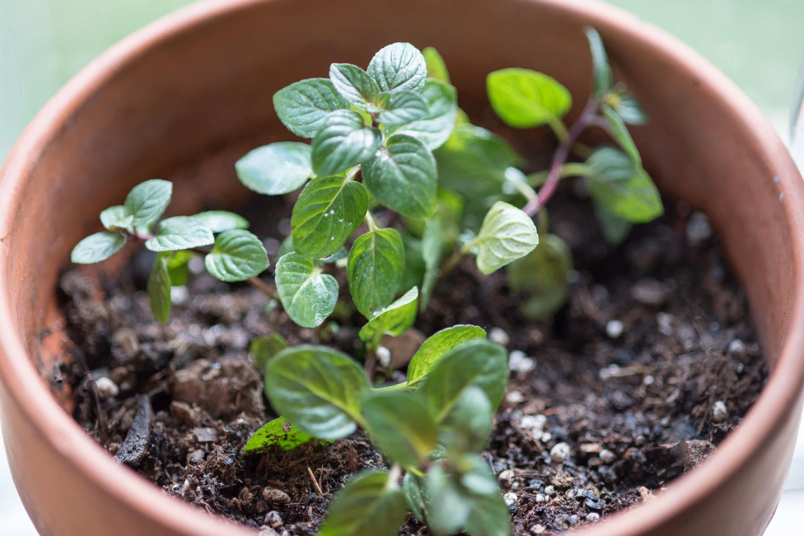 grow chocolate mint