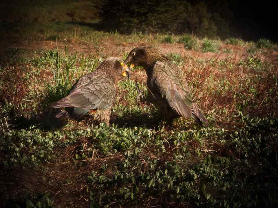 Two kea playing by Donald Lousley.