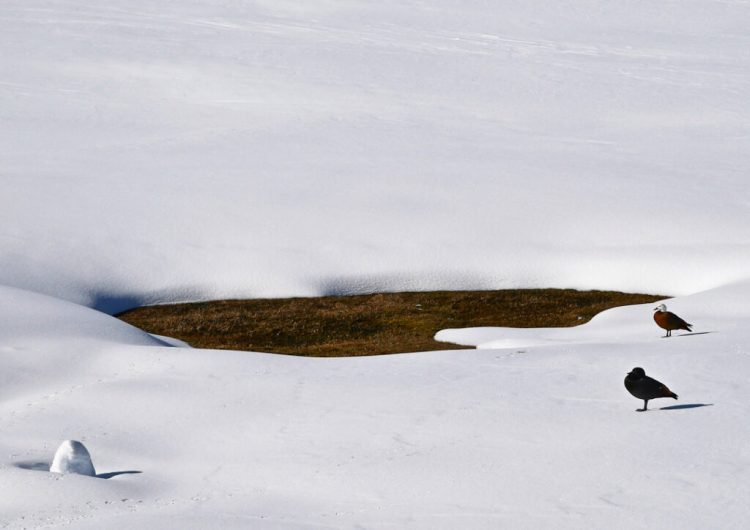 Paradise Ducks. The Snow Farm cross country skiing area, Cardrona Valley, New Zealand