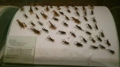 Cricket specimens