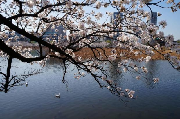 flores de cerejeira no Japão - Tóquio