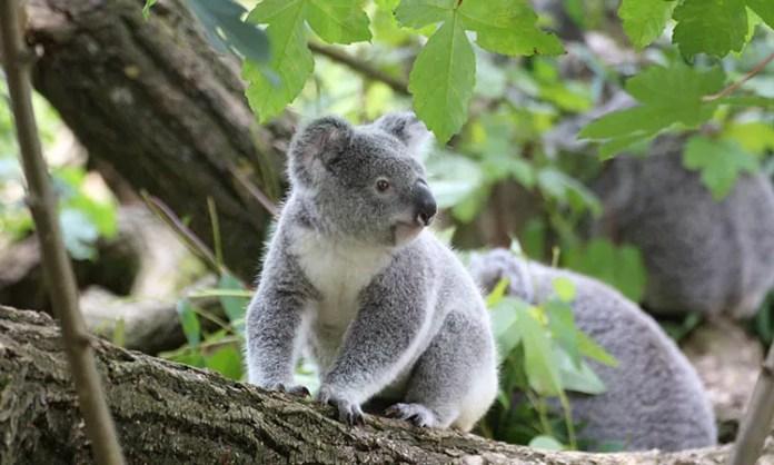 koala bears have fingerprints