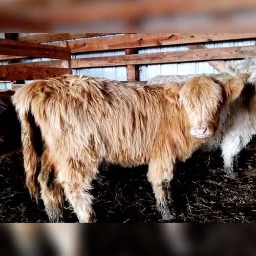 Millie mini highland cow