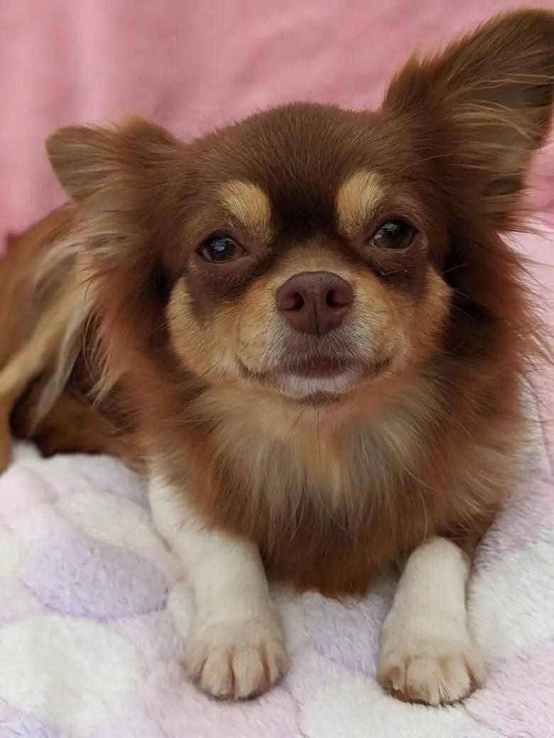 ママ業卒業 成犬 オーナー様募集中 薺 ロングコートチワワ チョコレートタン パピヨン 男の子 パパ犬飼育サポート