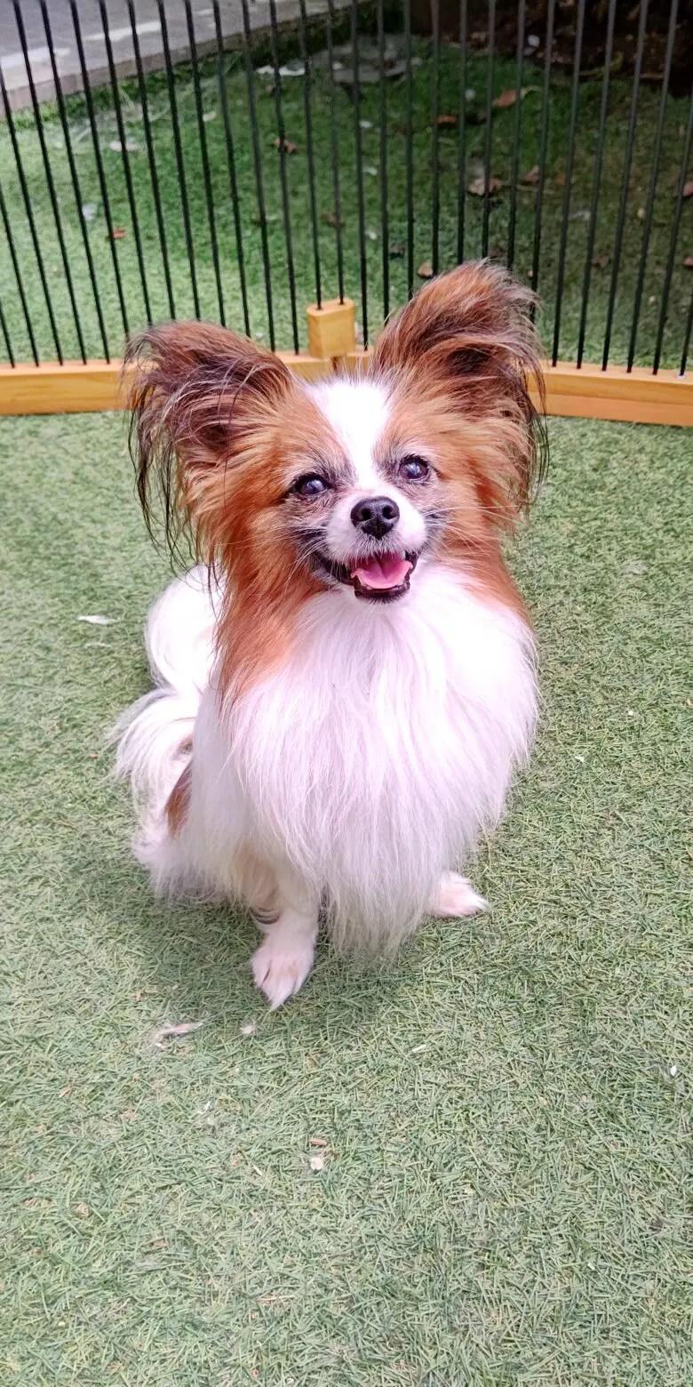 パピヨン ライア  パパ犬(種牡)