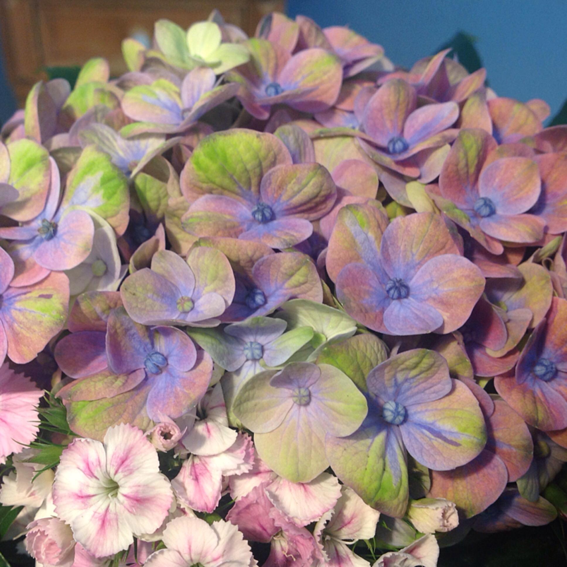 Hortensie & Tausendschön – oder – Frühling ohne Tulpen