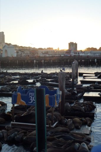 otaries fisherman's wharf san francisco