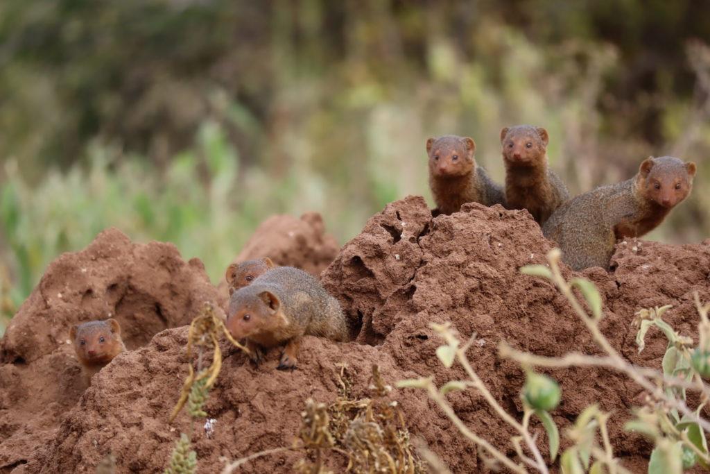 ecureuils tanzaniens tanrangire
