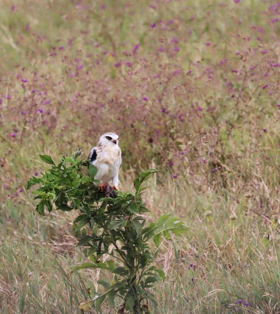 faucon ngorongoro tanzanie safari