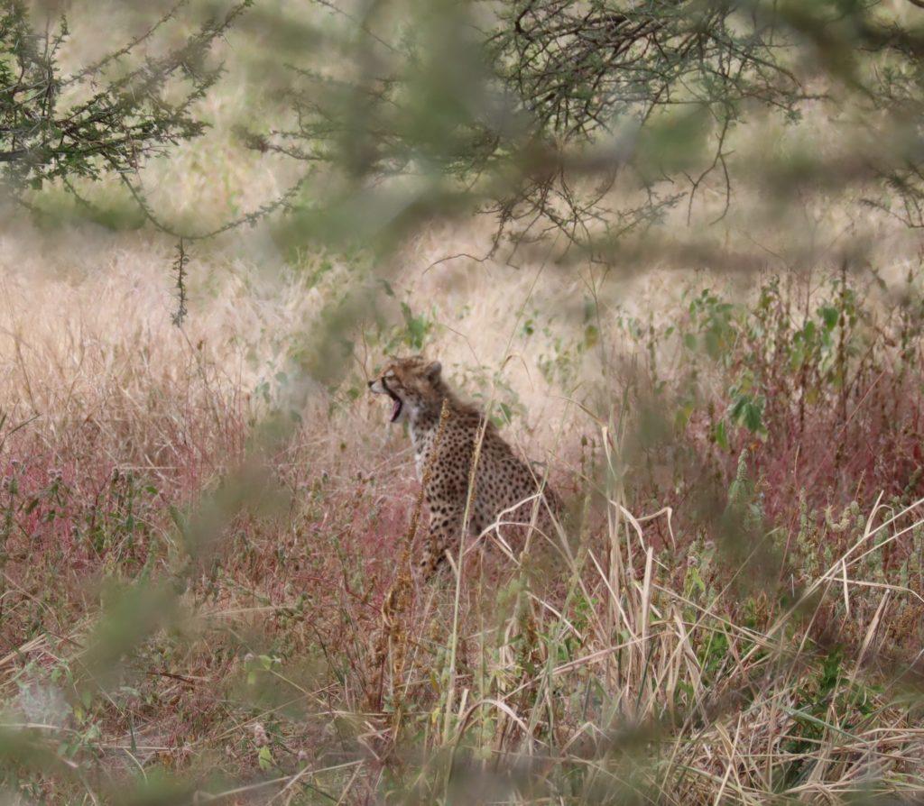 guepard au tarangire tanzanie safari