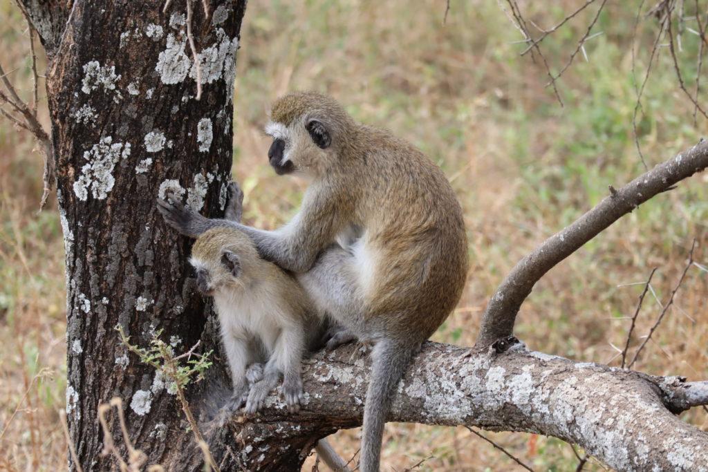 singes au tanrangire parc tanzanie