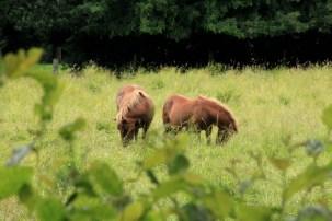 Maizicourt - poneys