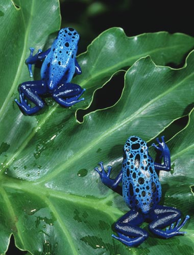 blue_dart_poison_frogs_lg