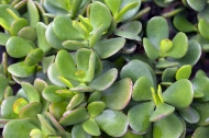 Choose succulents like the jade plant