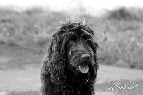 black and white photo of black Cockapoo dog at the park