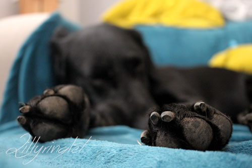 Sleeping dog with only feet in focus
