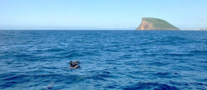 delfini terceira azzorre portogallo
