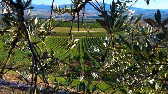 vigne-ulivi-banfi
