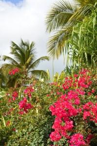 Bougainvillea Wilting