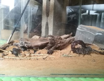 Hello desert scorpion!