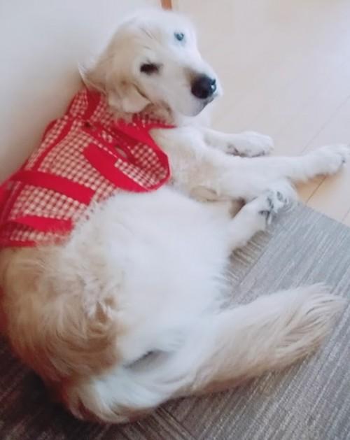 老犬 ナナ