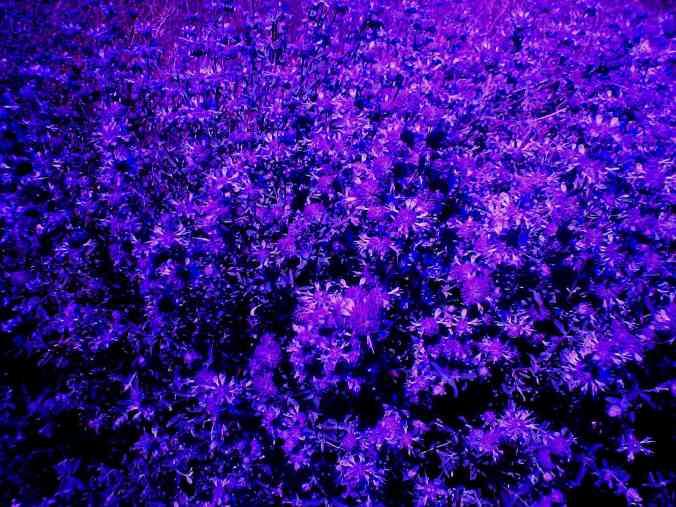 violet-flower-field