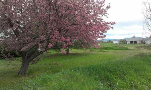 cherry blossoms on the farm.
