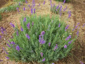 natural skin care products lavender