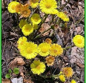 Coltsfoot Benefits for Skin, Hair and Health