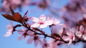 cherry-blossom-3308735_1920