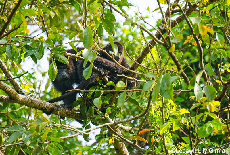 A howler monkey in tree in Belize looking at camera.