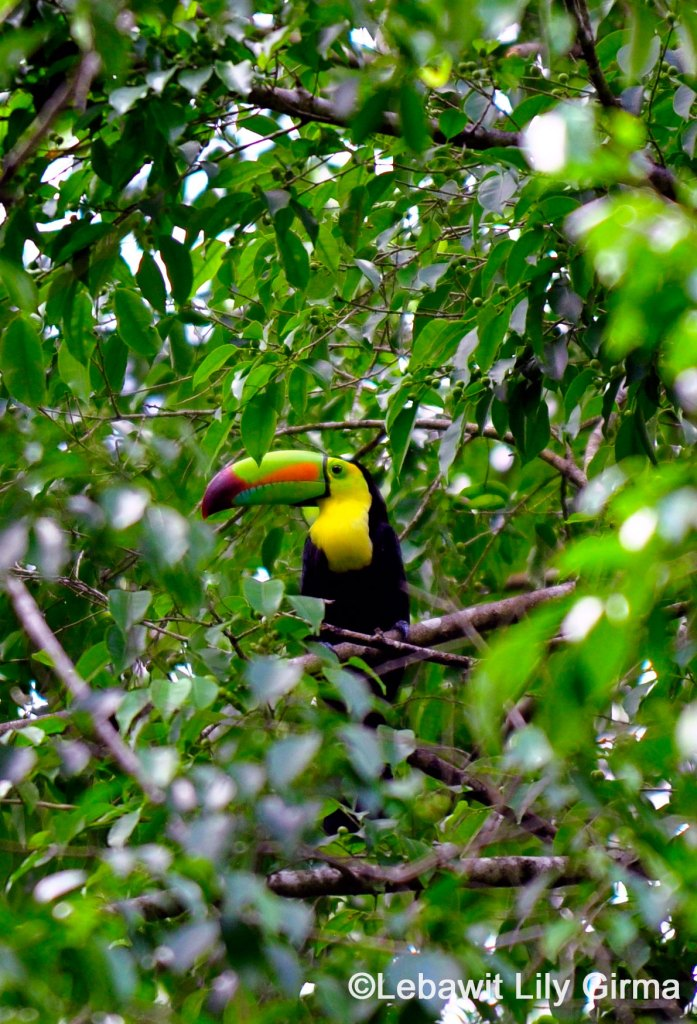 Toucan perched in tree in Belize.