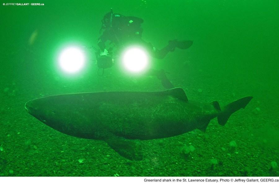 greenland_shark_3