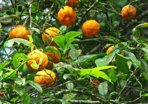 Apresentamos o fruto Limão Cravo