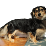 Blonde Long Haired Dachshund Price Midas Florence