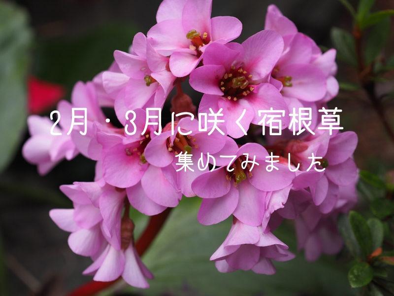 ヒマラヤユキノシタ