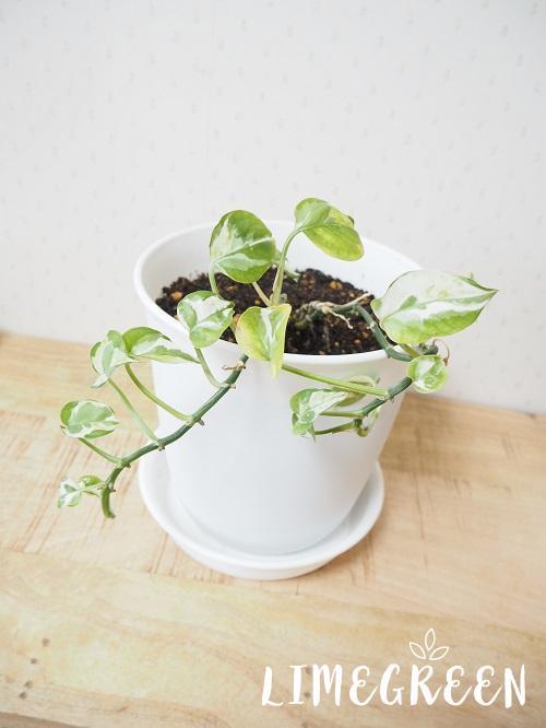 ダイソーの植木鉢とポトス