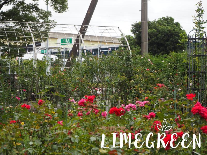 千葉市都市緑化植物園の市民バラ園