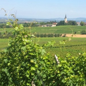 Zaehringer_vineyard