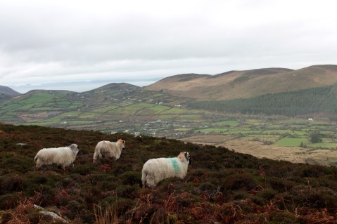 Ireland - Kerry Way; sheep taking in the gorgeous view