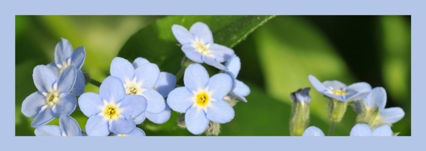 Blue Forget-me-not flowers, Why Are The Beatitudes Important?