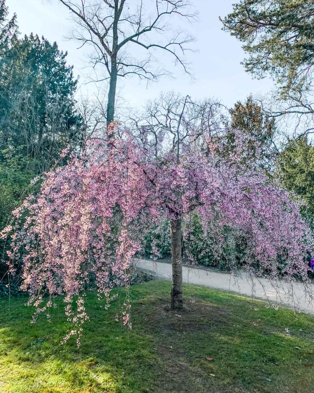Cherry blossoms in Parc de Bagatelle - Paris